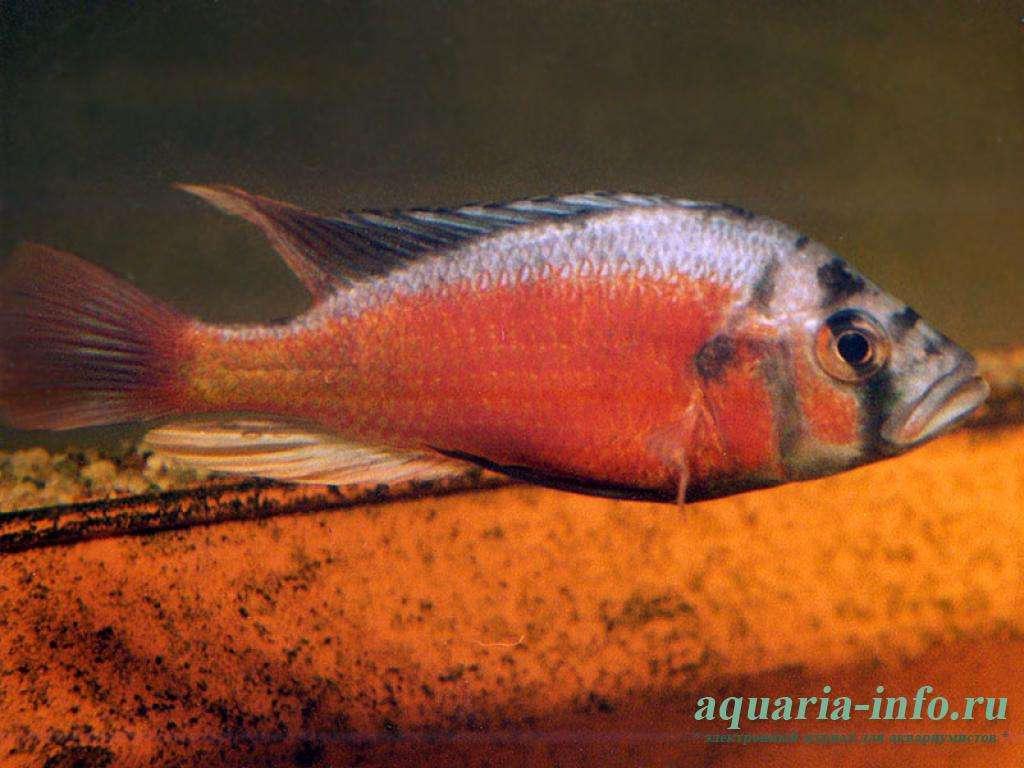 """Paralabidochromis sp. """"fire"""""""