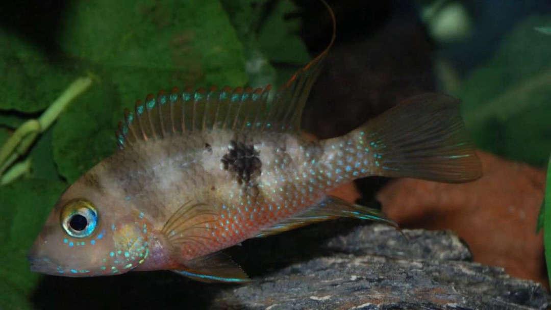 Thorichthys callolepis