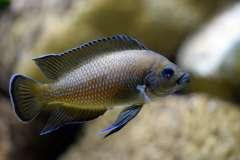 Variabilichromis moorii