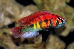 Xystichromis sp. 'kyoga flameback'