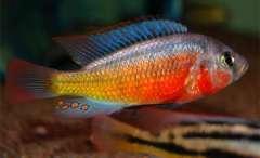 Paralabidochromis sauvage