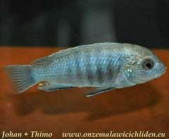 Labidochromis caeruleus 'Thumbi Reef'