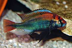 "Haplochromis sp. ""ruby"""