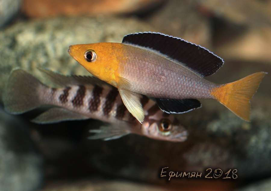 Cyprichromis leptosoma Jumbo Yellow Head.