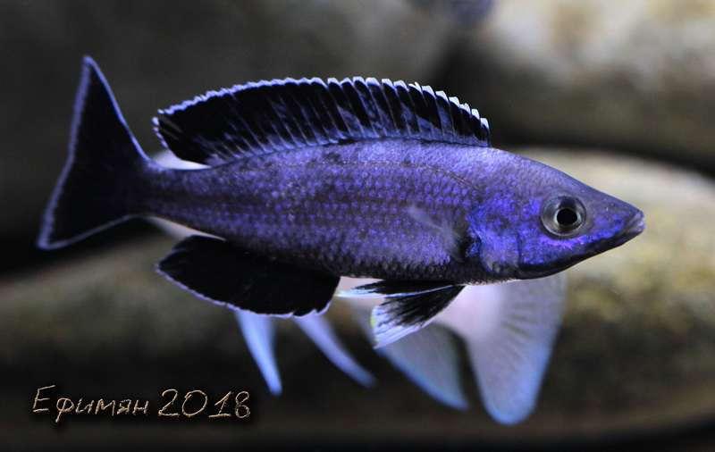 """Cyprichromis sp. """"leptosoma kitumba"""""""