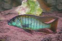 Taeniolethrinops furcicauda