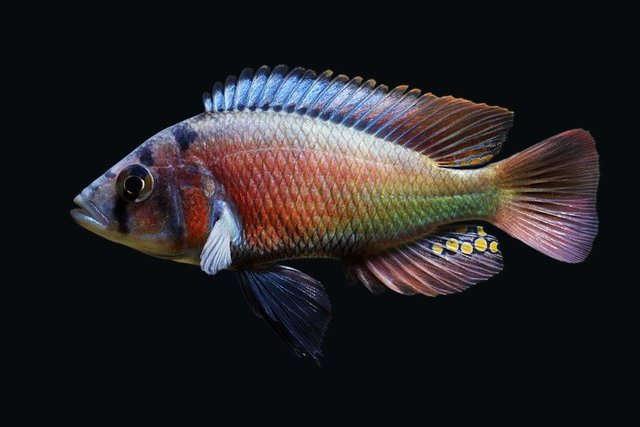 small_lithochromis_rufus0041-1000.jpg