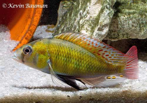 Haplochromis-ishmaeli-10.jpg