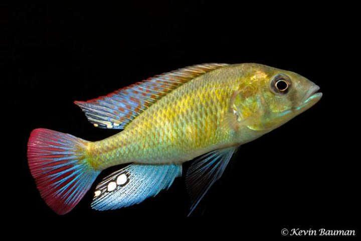 Haplochromis-ishmaeli-2-720x480.jpg