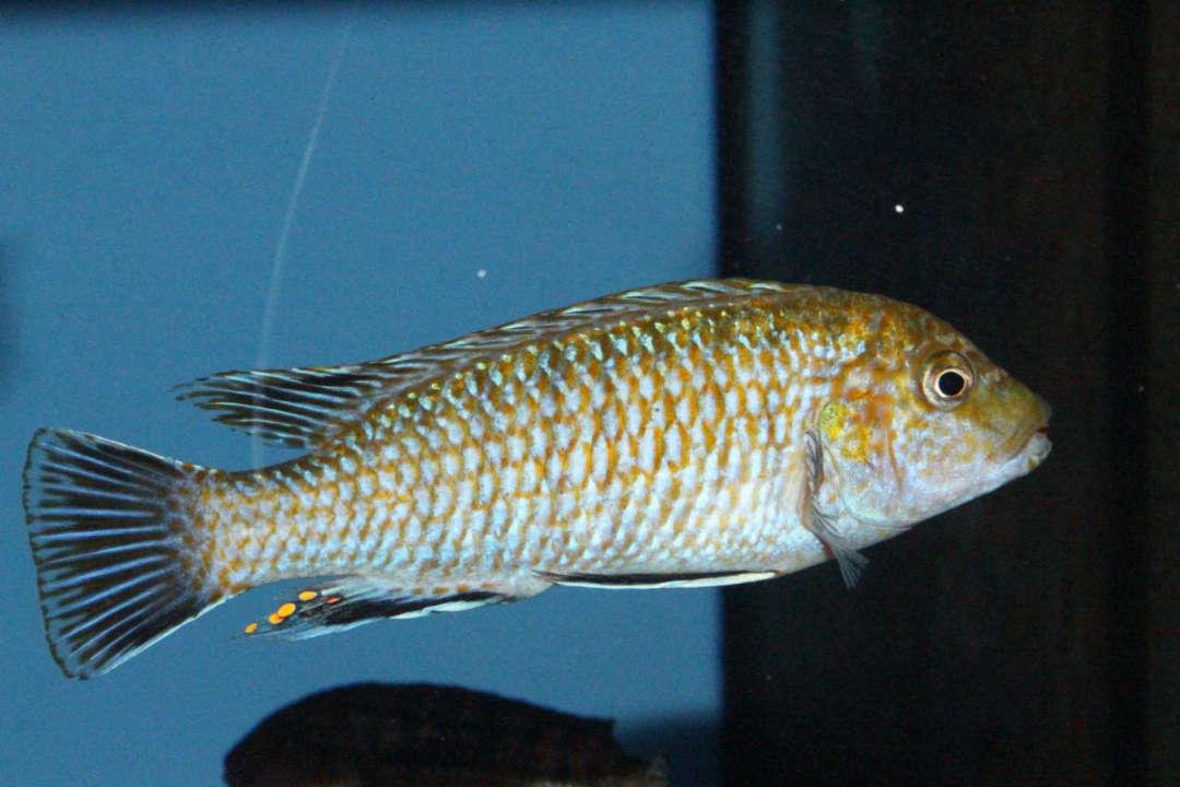 Labidochromis flavigulis