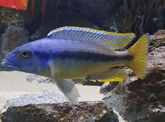 Taeniochromis holotaenia