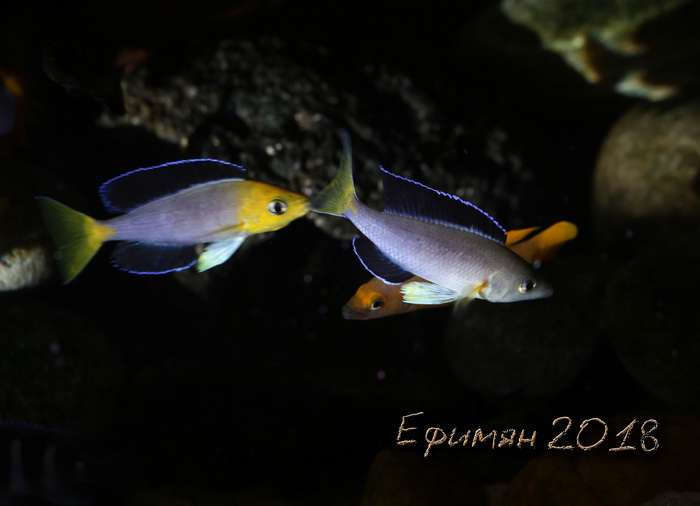 Cyprichromis leptosoma Jumbo.