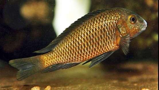 Tropheus sp. 'black' Luhanga (Makobola).jpg