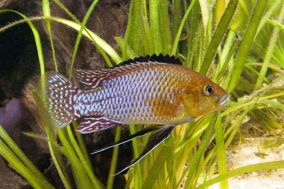 Pseudocrenilabrus Nicholsi  Congo River