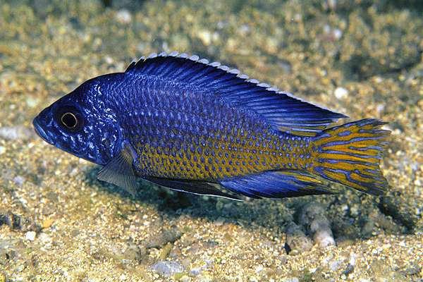 Aulonocara koningsi (Tawil, 2003)