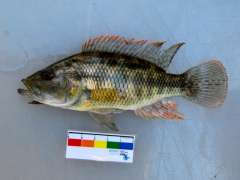 Serranochromis macrocephalus