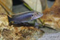 Melanochromis robustus