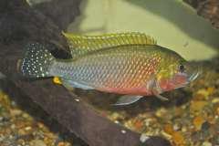 Pseudocrenilabrus sp lufubu river
