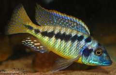 Mylochromis sp. 'lateristriga makanjila'