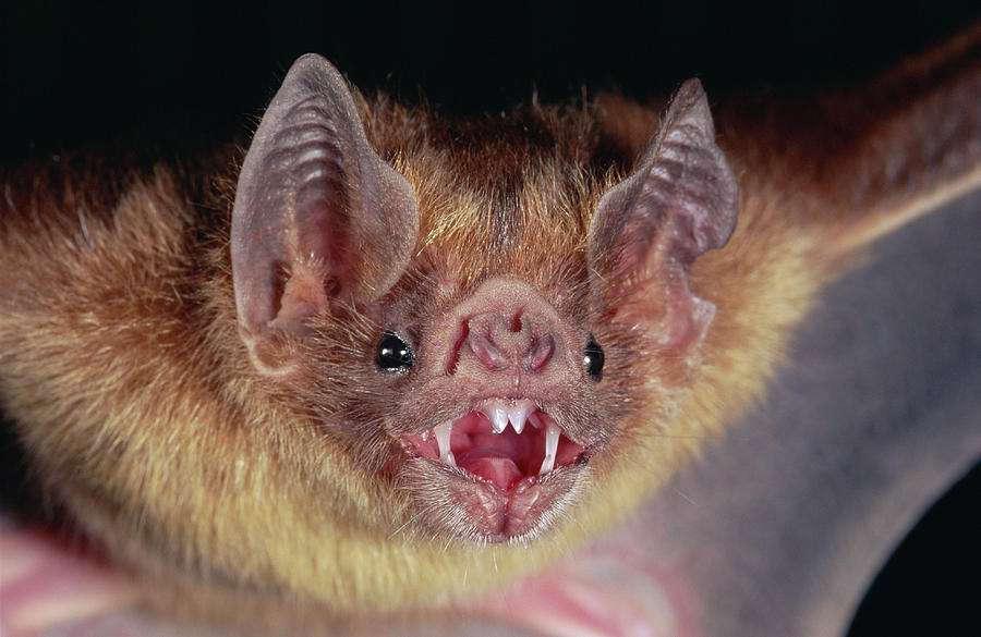 vampire-bat-desmodus-rotundus-portrait-michael-patricia-fogden.jpg