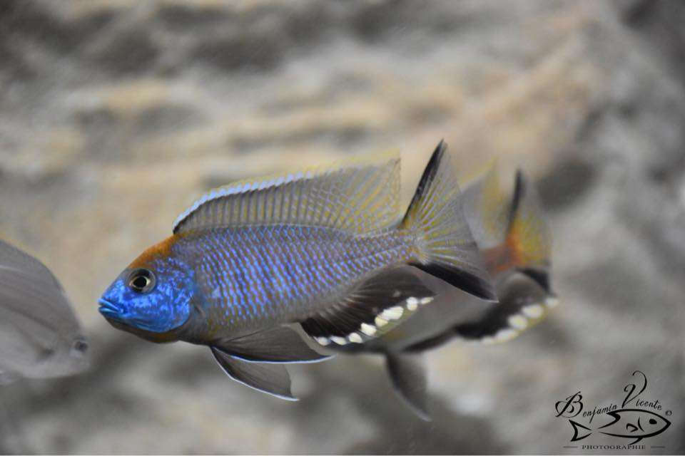 Nyassachromis prostoma