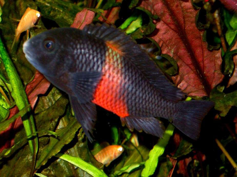 Tropheus sp red Bemba