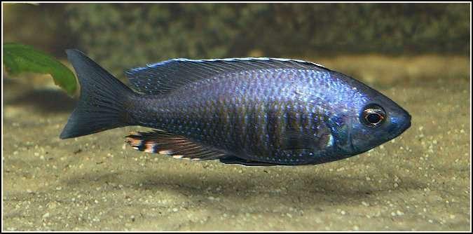 Mchenga flavimanus