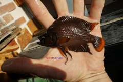 Altolamprologus compr. Red Fin Chituta WF