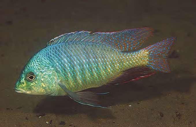 Trematocranus Placodon