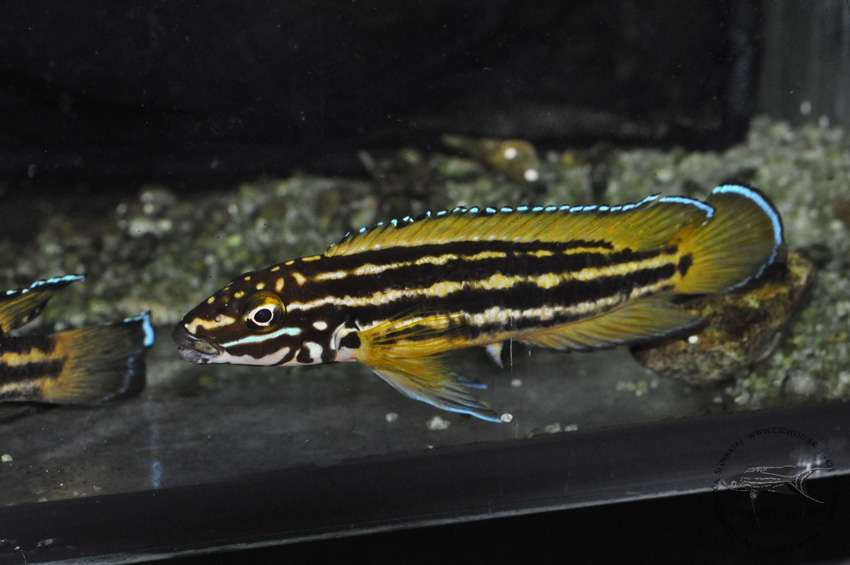 "Julidochromis regani ""Chisanse"""
