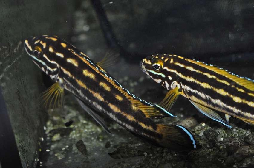 Julidochromis regani Chisanse