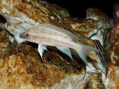Neolamprologus longicaudatus