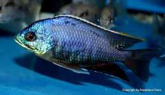 Placidochromis sp. 'blue otter'