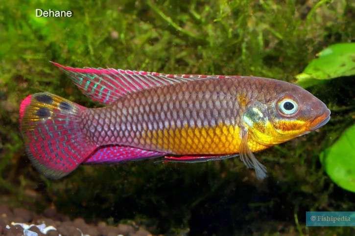 Pelvicachromis-drachenfelsi-3-725x483 (1).jpg