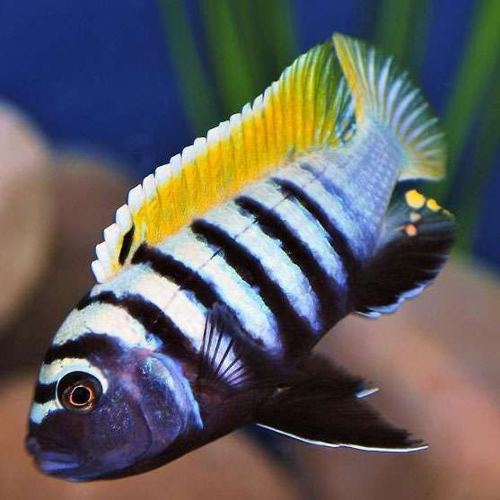 Cynotilapia-zebroides-Jalo-Reef.jpg