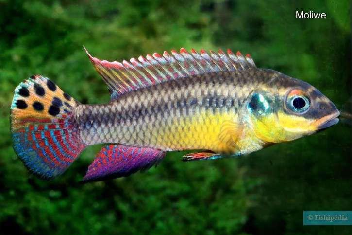 Pelvicachromis-drachenfelsi-1-725x483.jpg