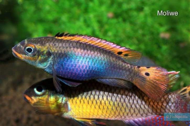 Pelvicachromis-drachenfelsi-2-725x483.jpg