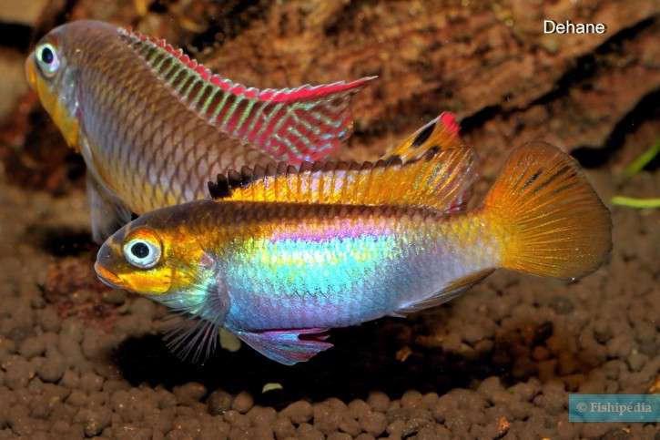 Pelvicachromis-drachenfelsi-4-725x483.jpg