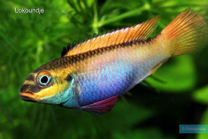 Pelvicachromis-drachenfelsi-6-725x483.jpg