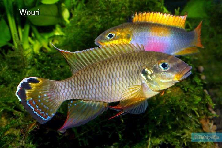 Pelvicachromis-drachenfelsi-7-725x483.jpg