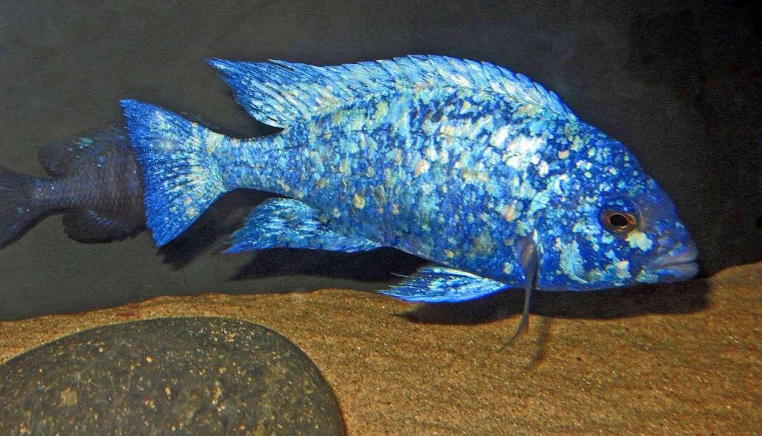 Placidochromis sp. 'phenochilus tanzania'