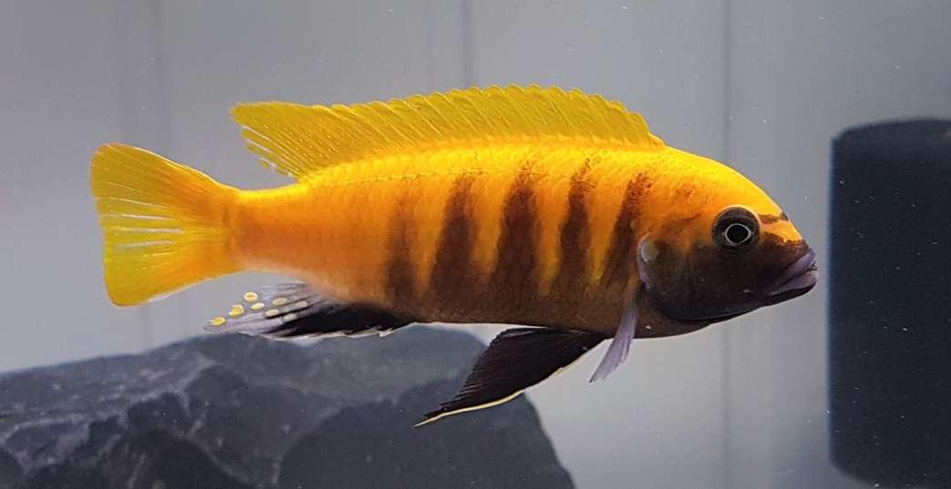 Metriaclima sp. 'zebra gold' Kawanga