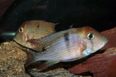 Geophagus harreri