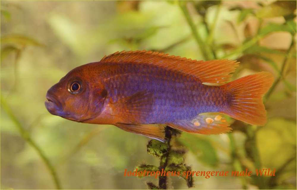 Iodotropheus sprengerae male4.jpg