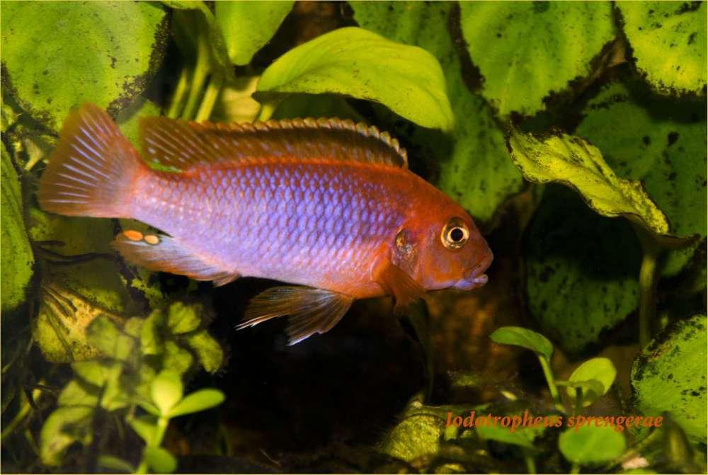 Iodotropheus sprengerae male2.jpg