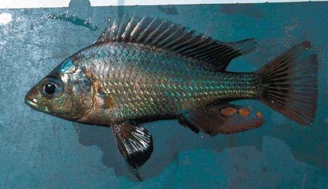 (Haplochromis nigripinnis) 1f.jpg