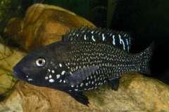 Iranocichla Hormuzensis