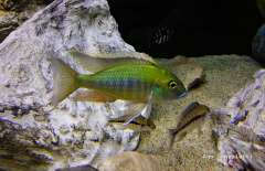Tramitichromis Intermedius Kambiri Point