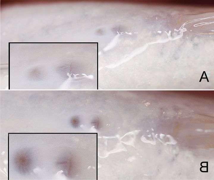 Limnochromis-auritus-vents.jpg