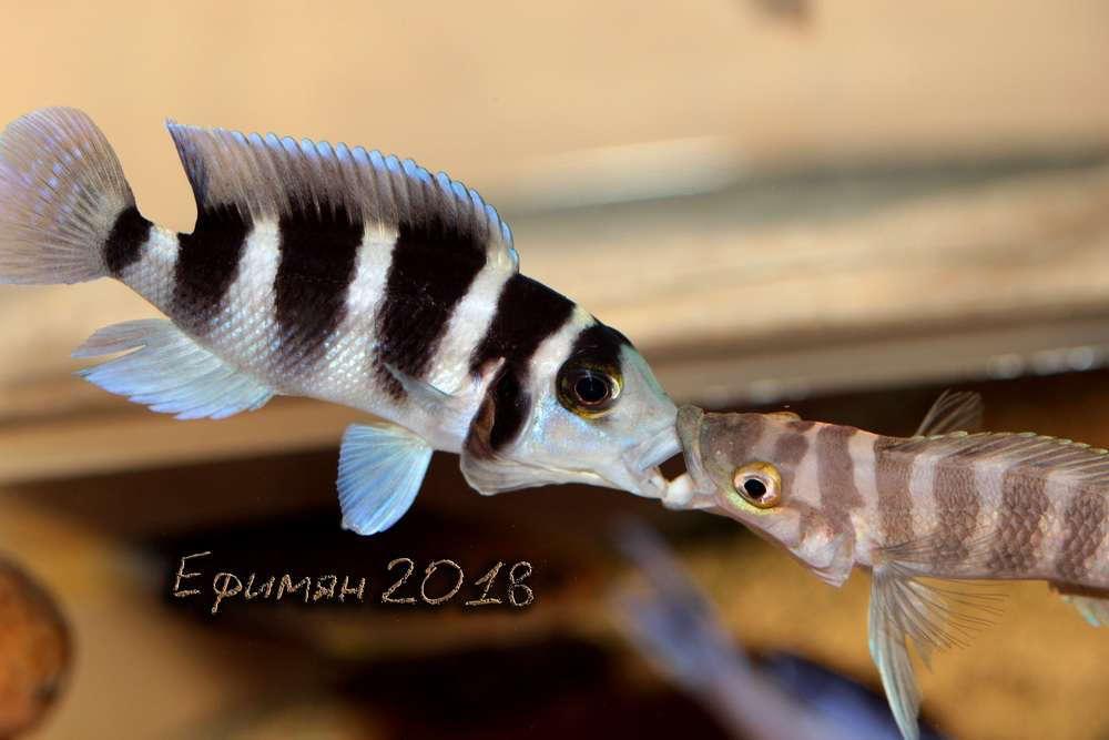 Neolamprologus tretocephalus + Neolamprologus cylindricus